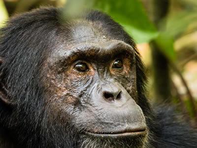 KibaleForest-chimps