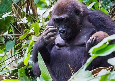 congo-gorilla-trek1