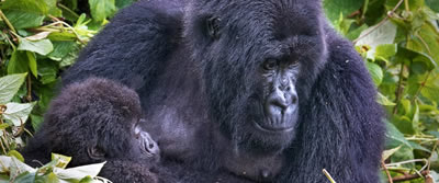 mountain-gorilla-mama1